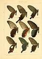 Macrolepidoptera01seitz 0013.jpg