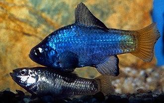 Cyprinodon - Cyprinodon macularius, pair during courtship (male above)