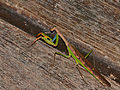 Madagascan Marbled Mantis (Polyspilota aeruginosa) (13980928591).jpg