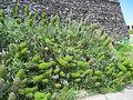 Madeira em Abril de 2011 IMG 1553 (5661911880).jpg
