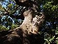 Maestoso e monumentale albero di Canfora nel giardino del Parco.jpg