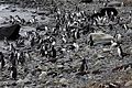 Magellanic Penguins (4312435417).jpg