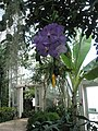 Magnificent orchid at the Royal Horticultural Society's Gardens,Wisley - geograph.org.uk - 943077.jpg
