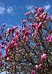 Magnolia liliiflora 2021 G1.jpg
