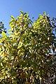 Magnolia x Tranquility 0zz.jpg