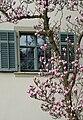 Magnolia x soulangeana Dornbirn 2.jpg