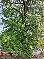 Magnoliales - Liriodendron tulipifera - 1.jpg