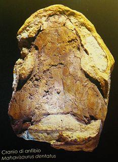 <i>Mahavisaurus</i> genus of amphibians (fossil)