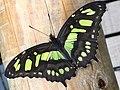 Malachite Butterfly (37402464356).jpg