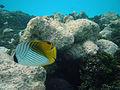 Maldives Butterflyfish, Chaetodon auriga.jpg
