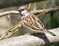 Male House Sparrow (Passer domesticus), New Castle, Delaware.jpg