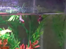 Bestand:Male White Cloud Mountain minnows sparring.webm