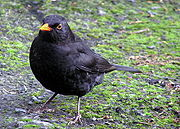 Male blackbird-b.jpg