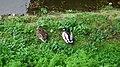 Mallard ducks Nantes.jpg
