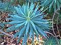 Malpighiales - Euphorbia atropurpurea 2.jpg