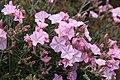 Malta - Mellieha - Triq Mellieha - Rdum mic-Cirkewwa sa Benghisa - Convolvulus althaeoides 03 ies.jpg