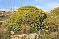 Malta - Qrendi - Hagar Qim and Mnajdra Archaeological Park - Euphorbia dendroides 03 ies.jpg