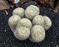Mammillaria karwinskiana 01.jpg
