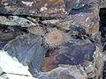 Mammillaria pennispinosa (5693259910).jpg