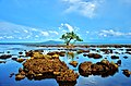 Mangrove Tree in Cagbalete Island by Say Bernardo.jpg