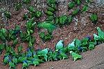 Many parrots -Anangu, Yasuni National Park, Ecuador -clay lick-8.jpg