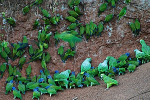 Many parrots at clay lick in Anangu, Yasuni Na...