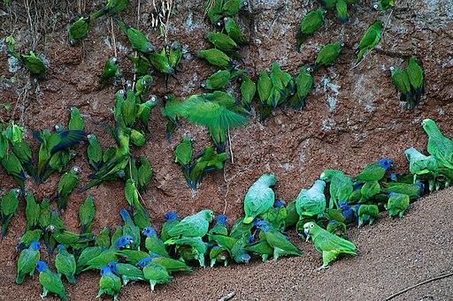 Many parrots -Anangu, Yasuni National Park, Ecuador -clay lick-8