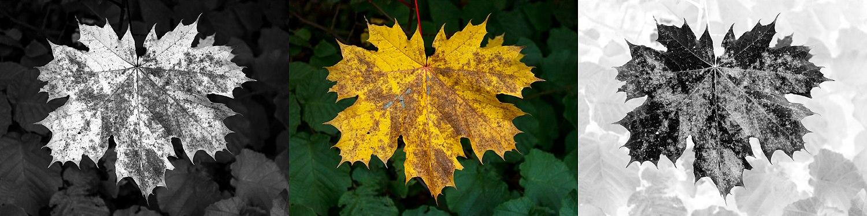 Maple leaf triptych.jpg