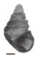Margarya bicostata shell.png