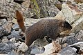Marmota flaviventris (29862452046).jpg