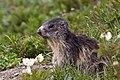 Marmota marmota -Ceresole Reale, Turin Province, Italy-8.jpg