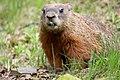 Marmota monax UL 13.jpg