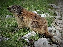 Marmotte 2014 2015 (10) .JPG