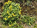 Marsh marigolds and lesser celandine - geograph.org.uk - 386322.jpg