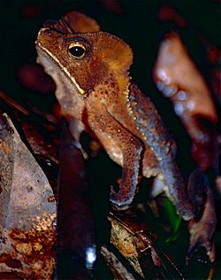 Marty's Mitred Toad (Rhinella martyi) female (10348797934).jpg