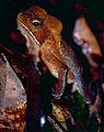 Marty's Mitred Toad (Rhinella martyi) female (10348797934).jpg