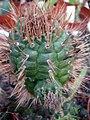 Matucana oreodoxa v eriodisca.jpg