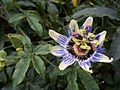 Mburucuya flower 2.jpg