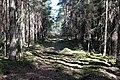 Meža ceļš caur Dulbju acs purva dabas lieguma rietumu daļu.jpg