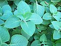 Medicinal Palnt Sambrani 1.jpg