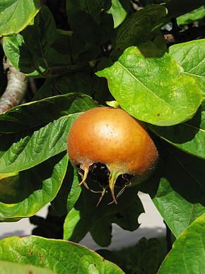 Description de l'image  Image:Medlar pome.jpg .