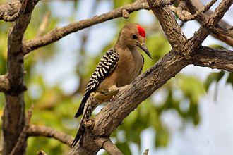 Gila woodpecker - Image: Melanerpesuropygiali s