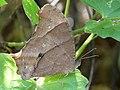 Melanitis leda dry season form of Kadavoor.jpg