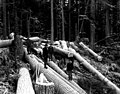 Men standing in downed timber, Snohomish county, ca 1913 (PICKETT 158).jpeg