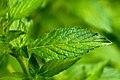 Mentha piperita - Flickr - aspidoscelis (1).jpg