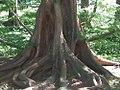 Metasequoia glyptostroboides 5zz.jpg