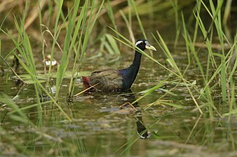 Metopidius indicus David Raju.jpg