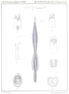 <i>Sparicotyle chrysophrii</i> Species of worms