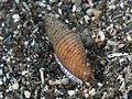 Mitre shell (32363771361).jpg