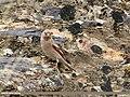 Mongolian Finch (Bucanetes mongolicus) (42315087375).jpg